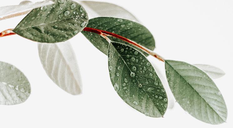 Europinių alyvmedžių lapų ekstraktas