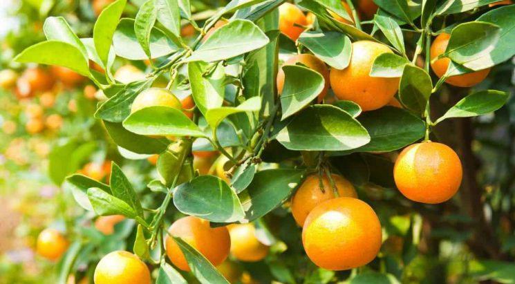 Karčiavaisių citrinmedžių vaisių ekstraktas