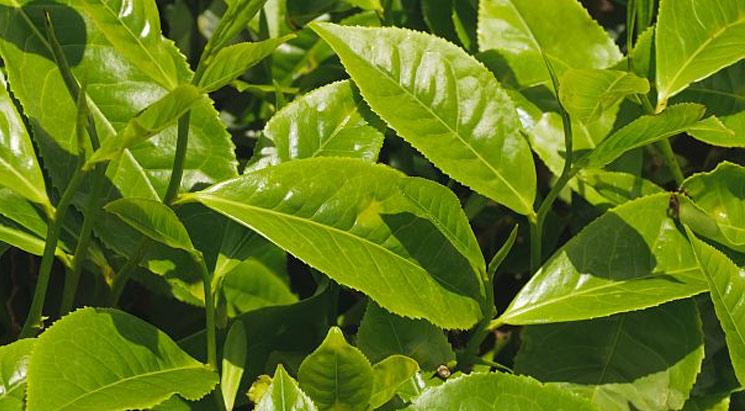 Kininių arbatmedžių lapų ekstraktas